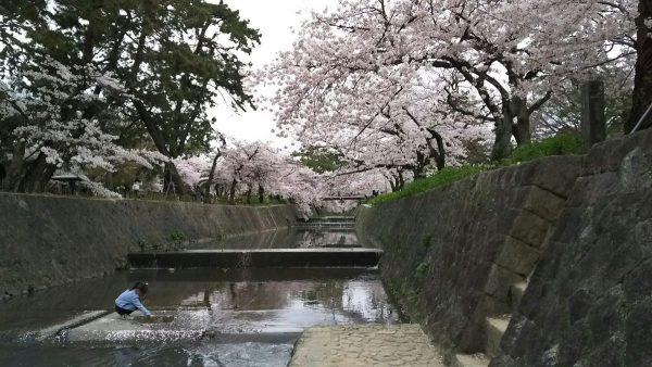 夙川の桜!サムネイル